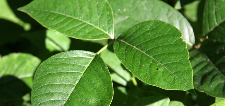 Poison ivy – a summer hazard you want to avoid